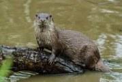 Parco Murgia Matera: confermata presenza della lontra in area del torrente Gravina